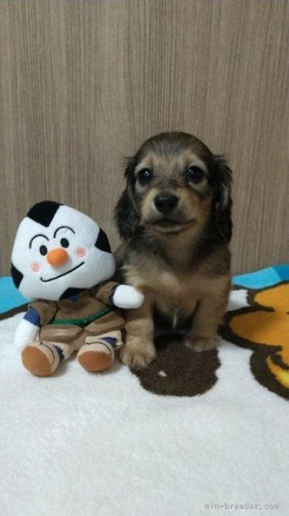 ミニチュアダックスフンド(ロング)の子犬(ID:1266811038)の2枚目の写真/更新日:2021-04-05