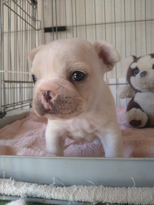 フレンチブルドッグの子犬(ID:1266911001)の2枚目の写真/更新日:2021-01-19
