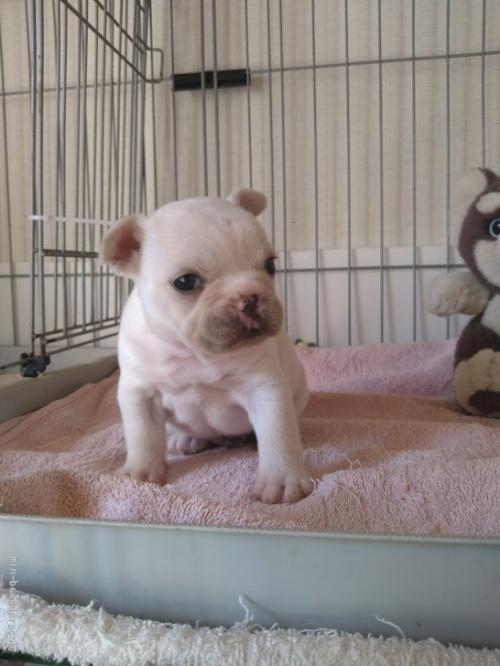 フレンチブルドッグの子犬(ID:1266911001)の3枚目の写真/更新日:2021-01-19