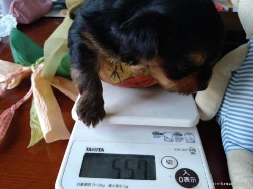 ヨークシャーテリアの子犬(ID:1266911005)の2枚目の写真/更新日:2021-02-01