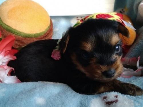 ヨークシャーテリアの子犬(ID:1266911005)の3枚目の写真/更新日:2021-02-01