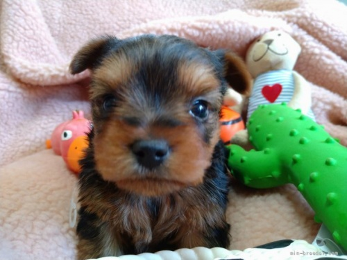 ヨークシャーテリアの子犬(ID:1266911007)の1枚目の写真/更新日:2019-01-07