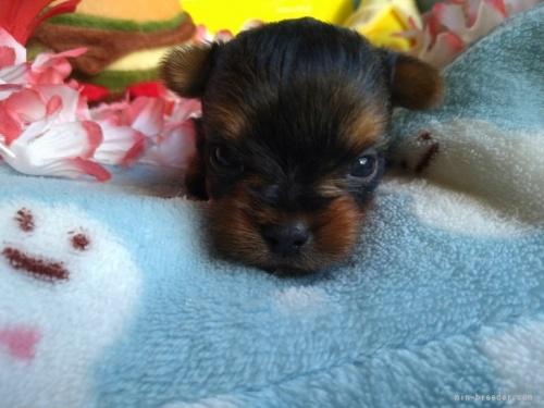 ヨークシャーテリアの子犬(ID:1266911007)の2枚目の写真/更新日:2021-02-01