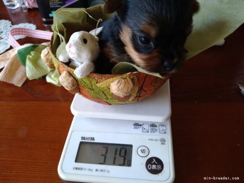ヨークシャーテリアの子犬(ID:1266911007)の3枚目の写真/更新日:2021-02-01