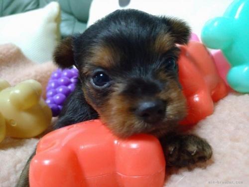 ヨークシャーテリアの子犬(ID:1266911008)の1枚目の写真/更新日:2017-01-31