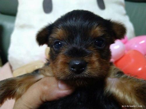 ヨークシャーテリアの子犬(ID:1266911008)の2枚目の写真/更新日:2017-01-31