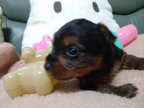 ヨークシャーテリアの子犬(ID:1266911008)の3枚目の写真/更新日:2021-04-01