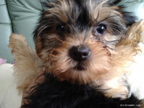 ヨークシャーテリアの子犬(ID:1266911009)の1枚目の写真/更新日:2019-08-13