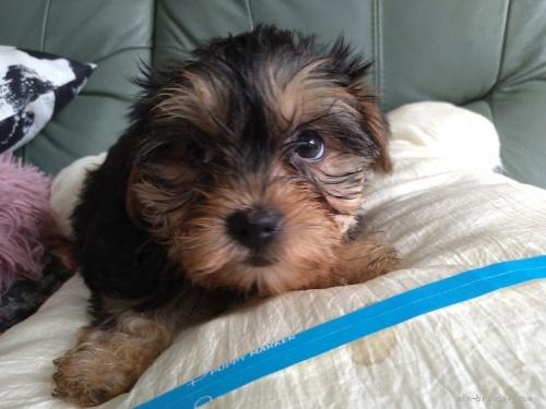 ヨークシャーテリアの子犬(ID:1266911009)の2枚目の写真/更新日:2017-02-10