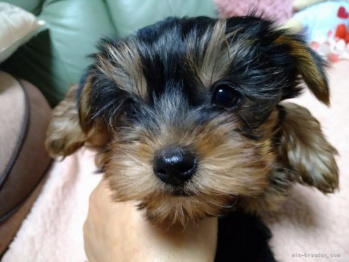ヨークシャーテリアの子犬(ID:1266911011)の1枚目の写真/更新日:2017-02-10