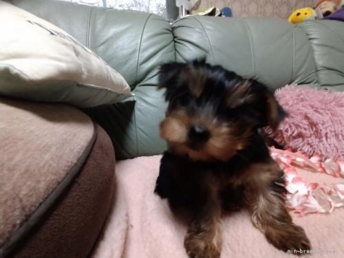 ヨークシャーテリアの子犬(ID:1266911011)の2枚目の写真/更新日:2017-02-10