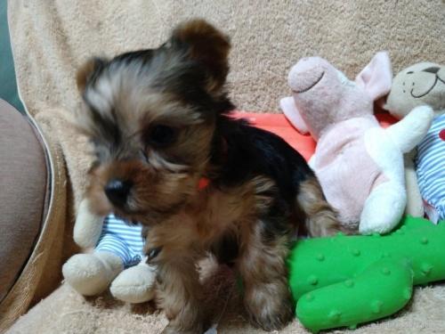 ヨークシャーテリアの子犬(ID:1266911014)の2枚目の写真/更新日:2021-04-01