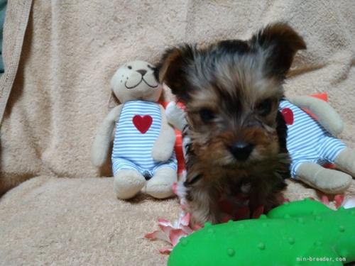 ヨークシャーテリアの子犬(ID:1266911014)の3枚目の写真/更新日:2021-04-01