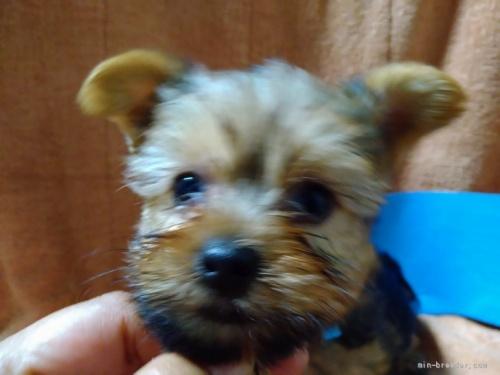ヨークシャーテリアの子犬(ID:1266911015)の1枚目の写真/更新日:2021-02-16