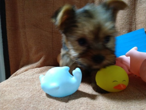 ヨークシャーテリアの子犬(ID:1266911015)の2枚目の写真/更新日:2021-02-16