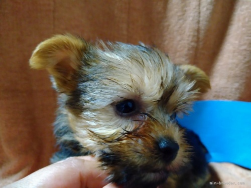 ヨークシャーテリアの子犬(ID:1266911015)の3枚目の写真/更新日:2019-07-08