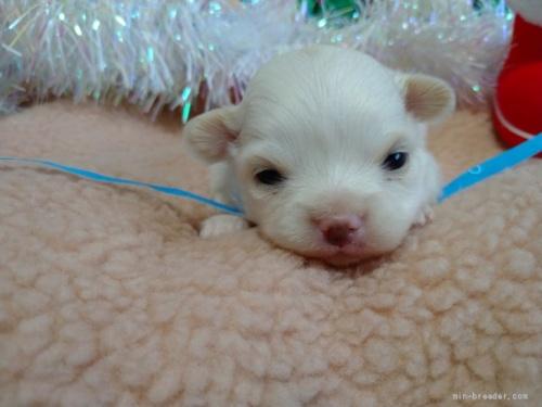 チワワ(ロング)の子犬(ID:1266911017)の1枚目の写真/更新日:2018-01-09