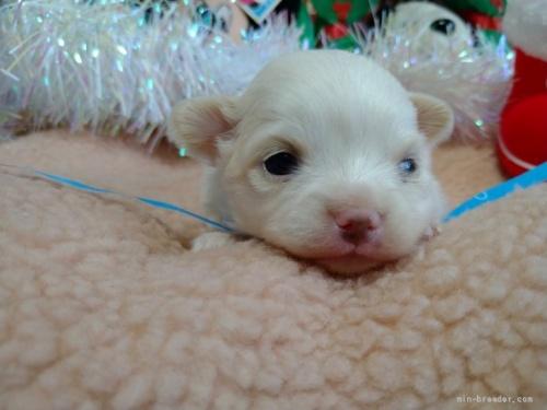 チワワ(ロング)の子犬(ID:1266911017)の2枚目の写真/更新日:2018-01-09