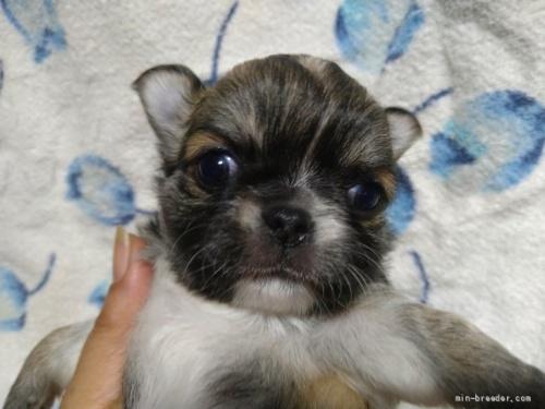 チワワ(ロング)の子犬(ID:1266911018)の1枚目の写真/更新日:2018-01-09