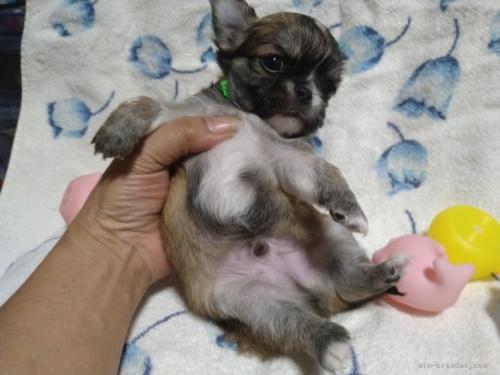 チワワ(ロング)の子犬(ID:1266911018)の2枚目の写真/更新日:2019-12-19