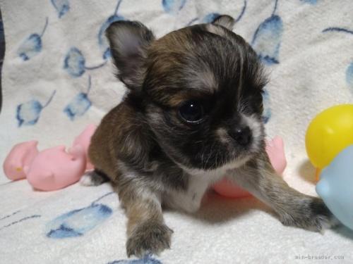 チワワ(ロング)の子犬(ID:1266911018)の3枚目の写真/更新日:2018-01-09