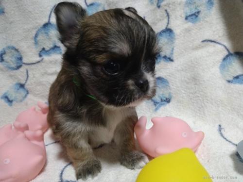 チワワ(ロング)の子犬(ID:1266911018)の4枚目の写真/更新日:2018-01-09
