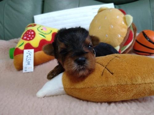 ヨークシャーテリアの子犬(ID:1266911020)の1枚目の写真/更新日:2018-03-09