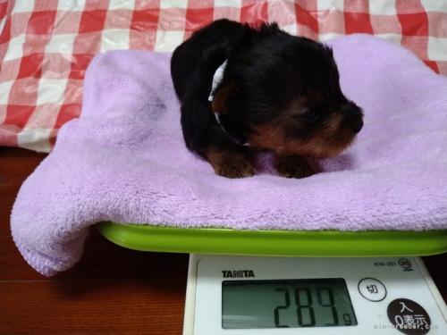 ヨークシャーテリアの子犬(ID:1266911020)の2枚目の写真/更新日:2021-04-01