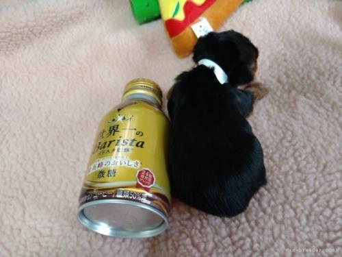 ヨークシャーテリアの子犬(ID:1266911020)の3枚目の写真/更新日:2021-04-01