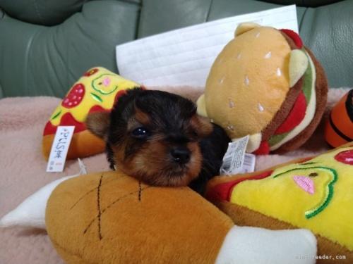 ヨークシャーテリアの子犬(ID:1266911020)の4枚目の写真/更新日:2021-04-01