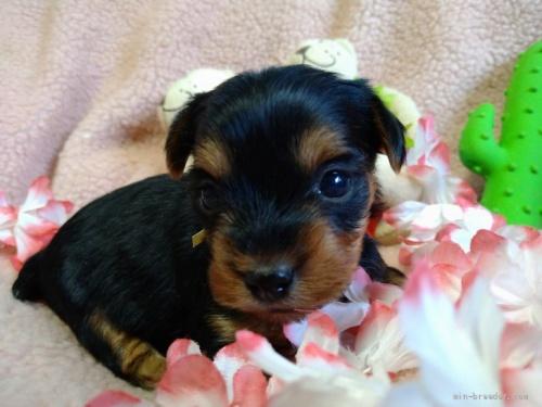 ヨークシャーテリアの子犬(ID:1266911021)の2枚目の写真/更新日:2021-02-01