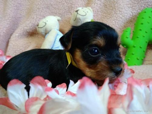 ヨークシャーテリアの子犬(ID:1266911021)の3枚目の写真/更新日:2021-02-01