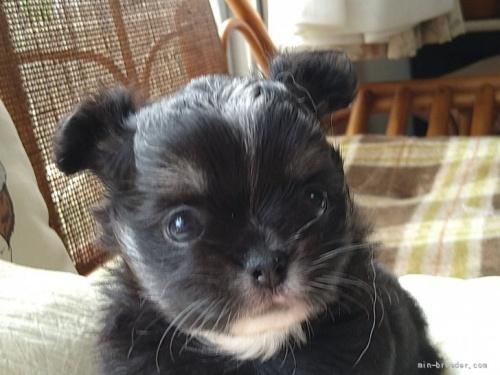 チワワ(ロング)の子犬(ID:1266911022)の1枚目の写真/更新日:2018-04-05