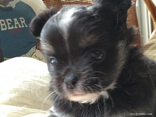チワワ(ロング)の子犬(ID:1266911022)の2枚目の写真/更新日:2019-07-31