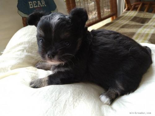 チワワ(ロング)の子犬(ID:1266911022)の3枚目の写真/更新日:2018-04-05