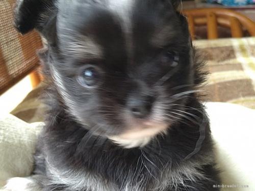 チワワ(ロング)の子犬(ID:1266911022)の4枚目の写真/更新日:2021-09-13