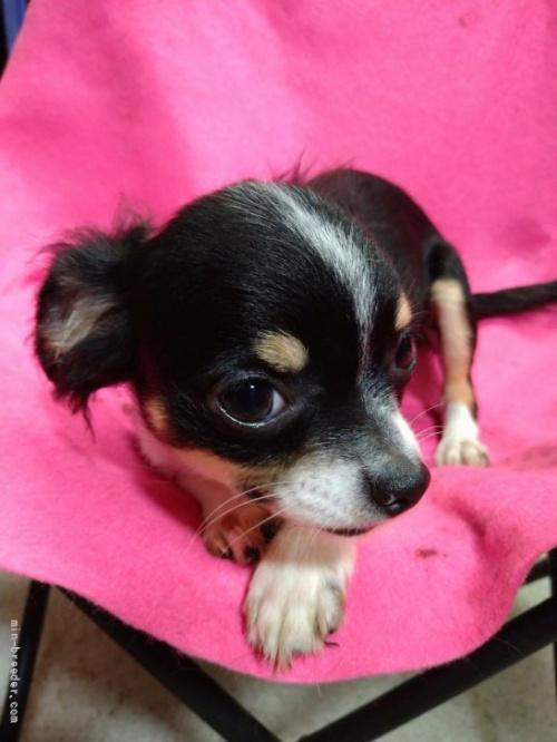 チワワ(ロング)の子犬(ID:1266911025)の1枚目の写真/更新日:2021-02-22