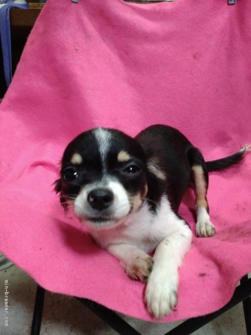 チワワ(ロング)の子犬(ID:1266911025)の2枚目の写真/更新日:2021-02-22
