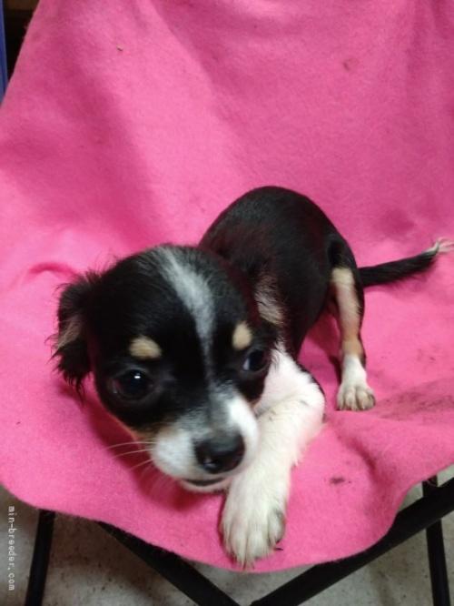 チワワ(ロング)の子犬(ID:1266911025)の3枚目の写真/更新日:2021-02-22