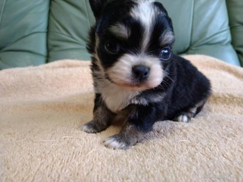 チワワ(ロング)の子犬(ID:1266911026)の1枚目の写真/更新日:2021-02-16
