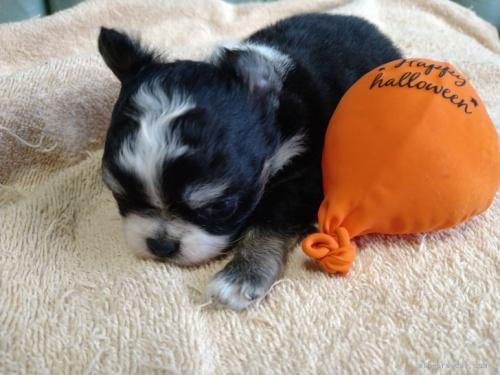 チワワ(ロング)の子犬(ID:1266911026)の3枚目の写真/更新日:2021-02-16