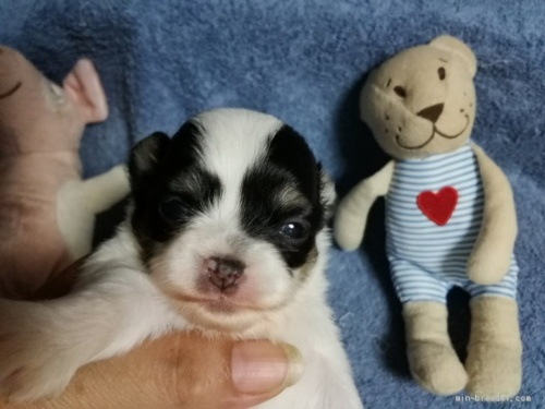 チワワ(ロング)の子犬(ID:1266911030)の1枚目の写真/更新日:2020-08-15