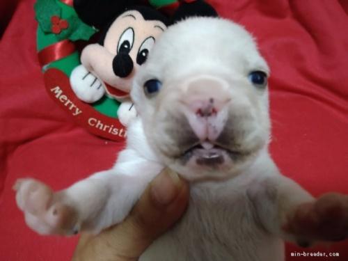 フレンチブルドッグの子犬(ID:1266911035)の1枚目の写真/更新日:2020-12-21