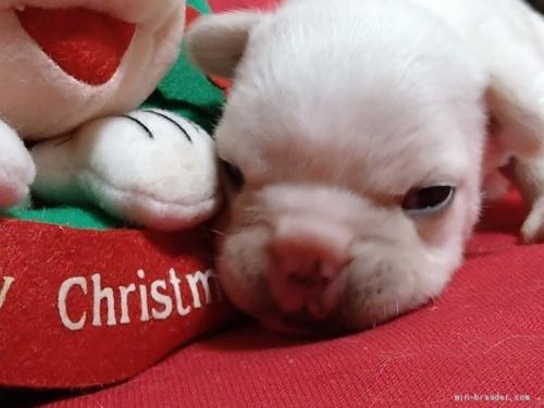 フレンチブルドッグの子犬(ID:1266911035)の2枚目の写真/更新日:2020-12-21