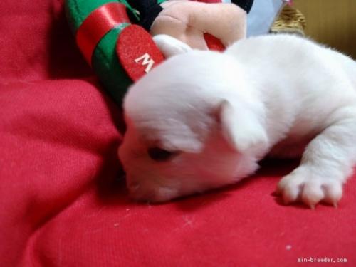 フレンチブルドッグの子犬(ID:1266911035)の3枚目の写真/更新日:2020-12-21