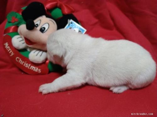 フレンチブルドッグの子犬(ID:1266911035)の4枚目の写真/更新日:2020-12-21