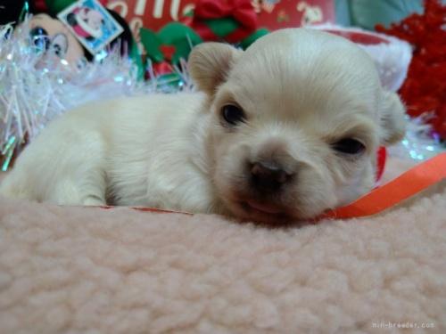 チワワ(ロング)の子犬(ID:1266911036)の1枚目の写真/更新日:2020-12-28