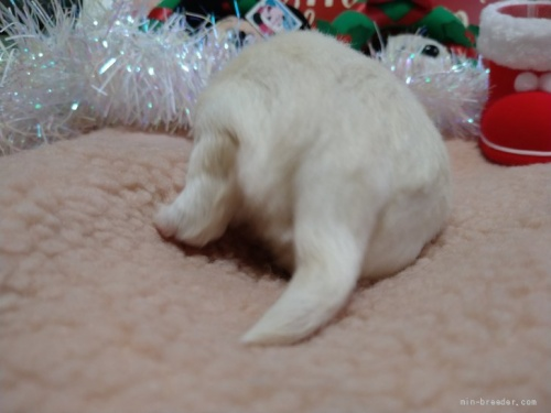 チワワ(ロング)の子犬(ID:1266911036)の2枚目の写真/更新日:2020-12-28