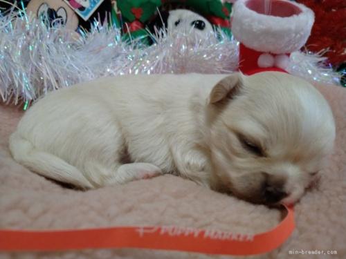 チワワ(ロング)の子犬(ID:1266911036)の5枚目の写真/更新日:2021-06-22