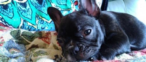 フレンチブルドッグの子犬(ID:1266911037)の1枚目の写真/更新日:2021-07-25